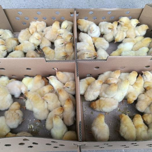 三黄鸡苗 三黄土1.5鸡苗 品种正宗 包打疫苗