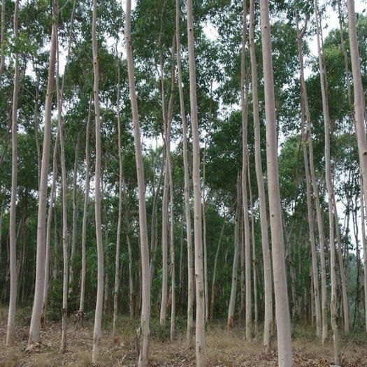 有林地  3200亩桉树林地流转,桉树10公分,还有19年,5年一付,