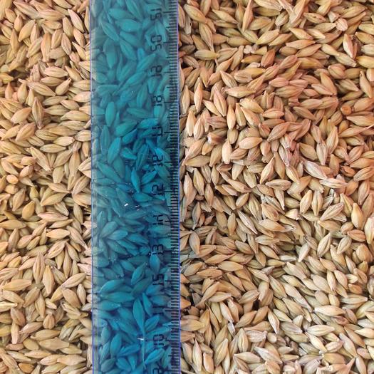 【俄羅斯皮大麥】容重670水分13.8%粗蛋白10%雜質2%