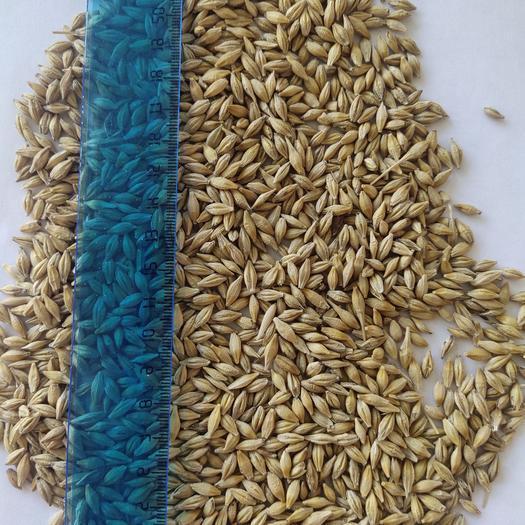 【現貨】超低價!俄羅斯優質大麥!皮大麥!