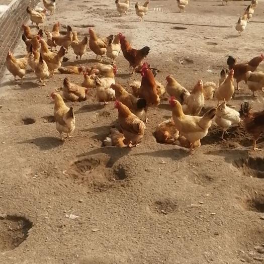 包邮皖南黄脚土鸡现杀仔公鸡真空包装老母鸡包黄油口感佳青炖油黄