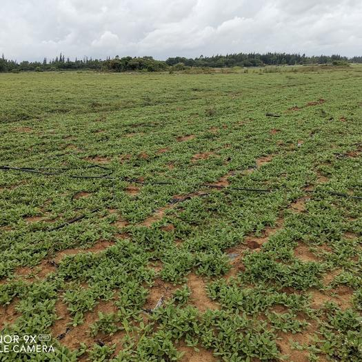 旱地  地平,地肥,水電路到位,適合種植各類農作物