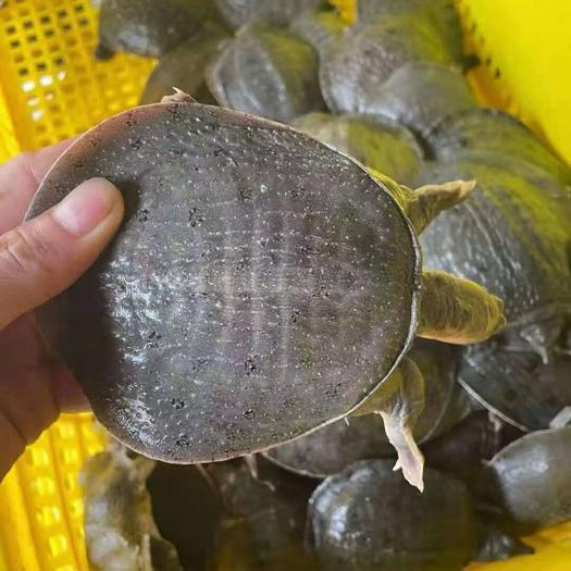 大量温室小甲鱼上货,质优价廉