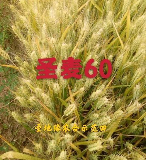 圣麥60精品小麥矮桿大穗高產品質好芽率好,生麥芽種植。