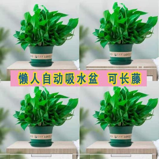 綠蘿盆栽快遞包郵 死亡包賠長藤大葉 基地直銷凈化空氣除甲醛
