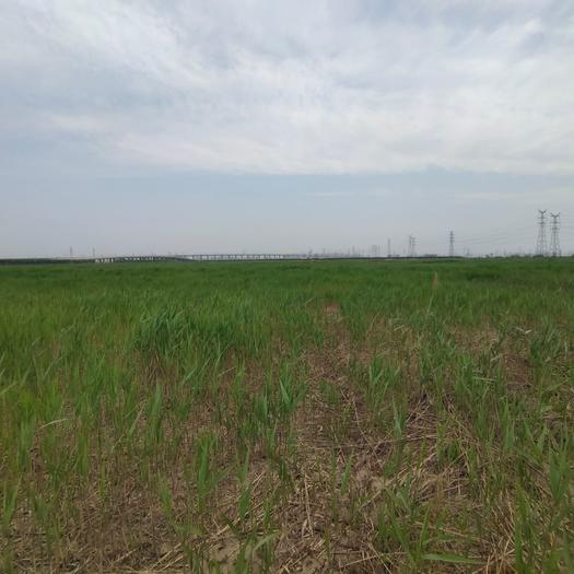 人工草地 芦苇地