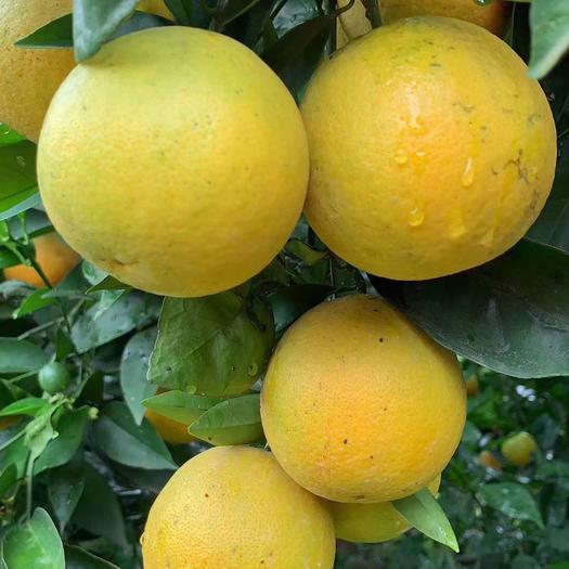 夏橙  精品橙子