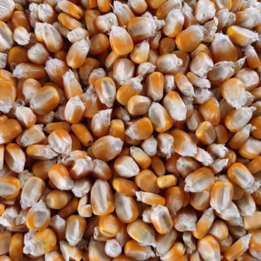 干玉米  玉米