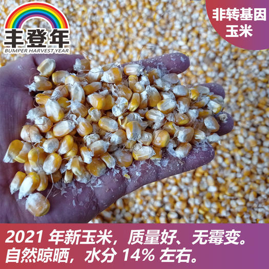 新上市干玉米產地直供(食用、飼料,毛糧)