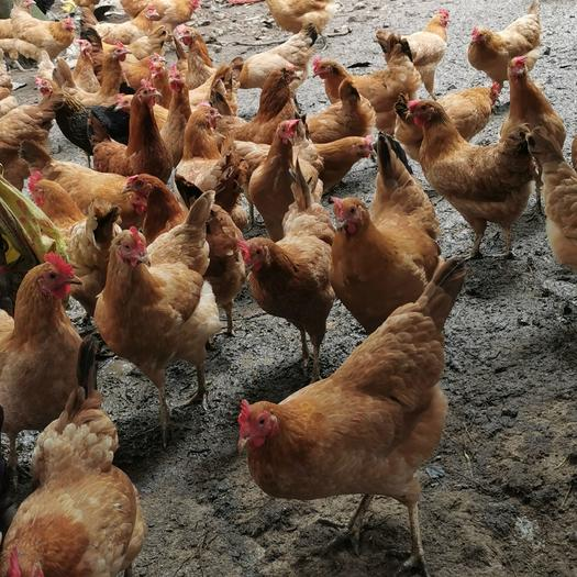 土鸡  10个月母鸡
