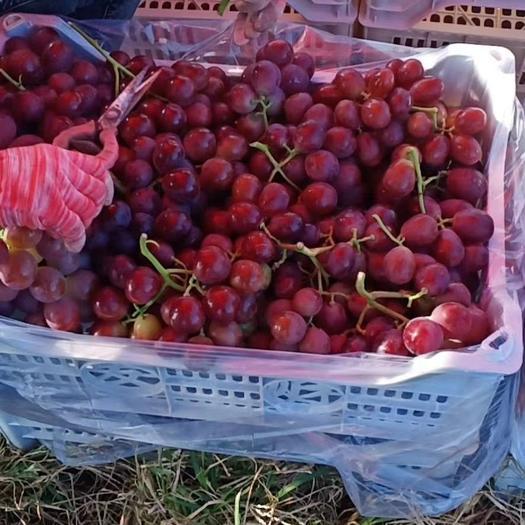 红提 陕西万亩葡萄大量供应!对应各大平台,电商,市场,商超