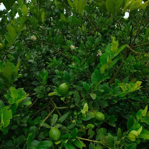 自家种植香水柠檬果园招合伙人转租