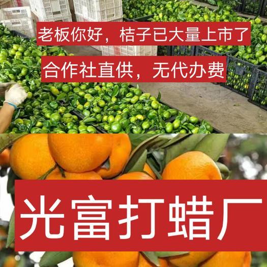 蜜桔  特早蜜橘,柑橘,叶桔,合作社直供,免食宿,无代办费