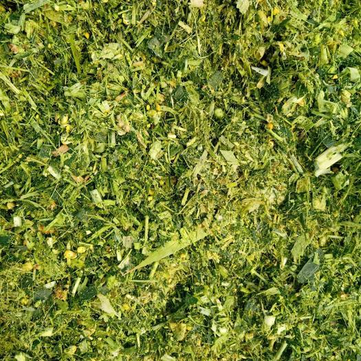 玉米青贮  青储玉米 青储饲料 大量高品质大量供应中 协助找车一条龙