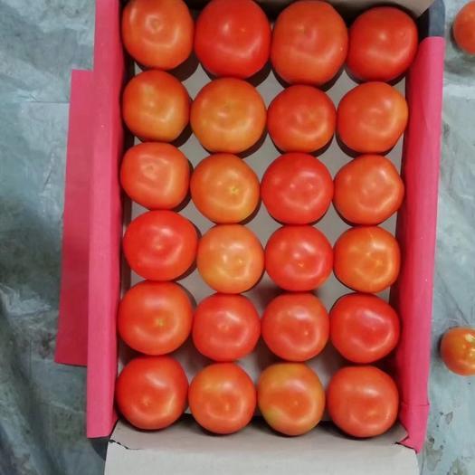大红西红柿  攀枝花硬粉西红柿  大量上市 支持代办