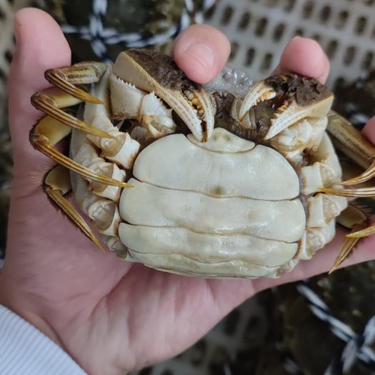 洪湖市清水大闸蟹毛蟹30斤起批可混装发货 零售请咨询