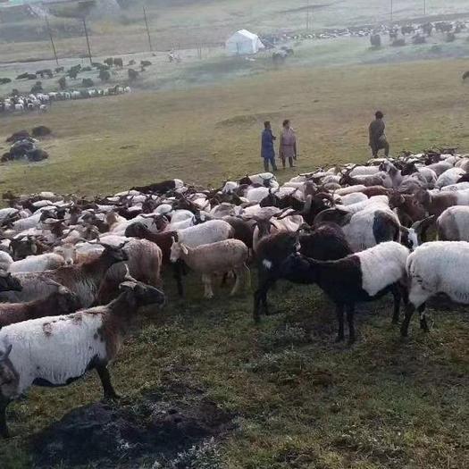 杂交羊 110斤左右欧拉羊,《俗称假山羊》