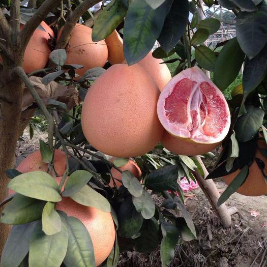 三红蜜柚苗  现挖现发  保湿发货成活有保障   包邮包邮