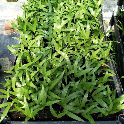 富贵椰子苗四季常青耐寒室内花卉观叶盆栽