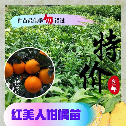 红美人柑桔苗  红美人柑橘苗 无毒柑橘苗批发 地苗杯苗供应