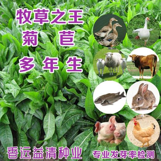 菊苣种子  菊苣新种子四季牧草种子大叶菊苣将军菊苣批发包邮提供种植技术