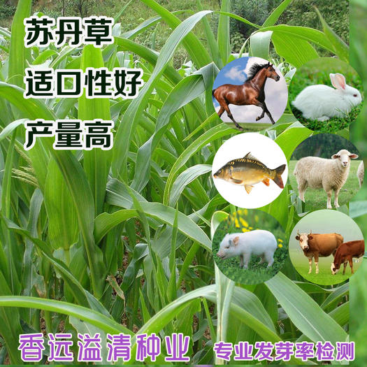 苏丹草种子苏丹草新种子包邮提供种植技术苏丹草种子批发