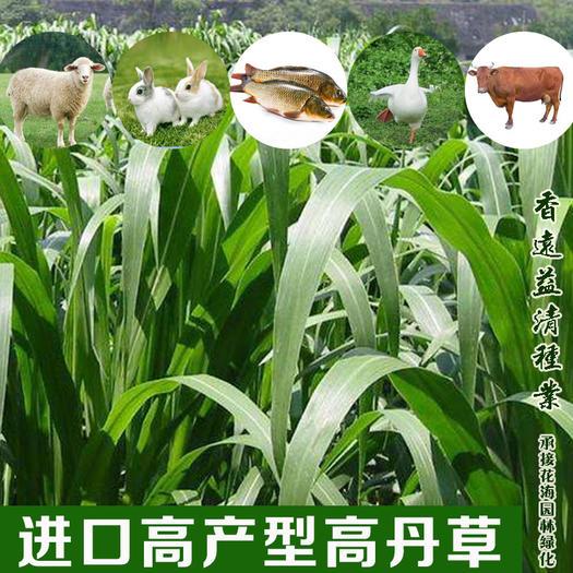 高丹草新种子大叶高产高丹草种子提供技术指导批发包邮
