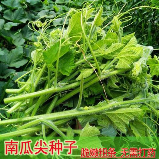 南瓜苗 脆嫩粗条南瓜尖种籽可食用茎叶南瓜头高产专吃南瓜叶四季蔬菜种子