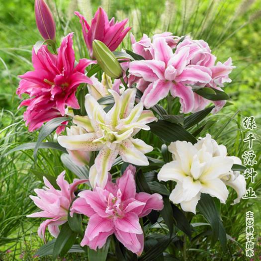 百合切花 百合花种球香水百合种球包邮批发四季可种香气清晰