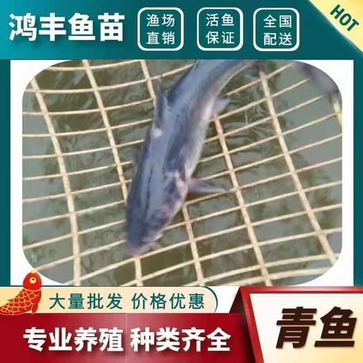 青鱼苗【重庆养殖场直销】螺丝青鱼批发 品质保证价格划算