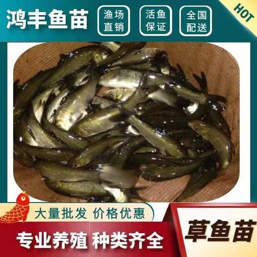 草鱼苗 抗病毒高产快大 重庆渔场直销 品种齐全价格实惠