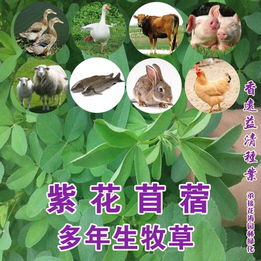 苜蓿草種子優質大葉紫花苜蓿種子多年生多次收割包郵提供種植技術