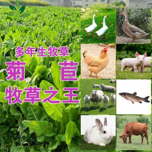 菊苣种子大叶菊苣种子菊苣新种子包邮多年生牧草种子提供资料技术