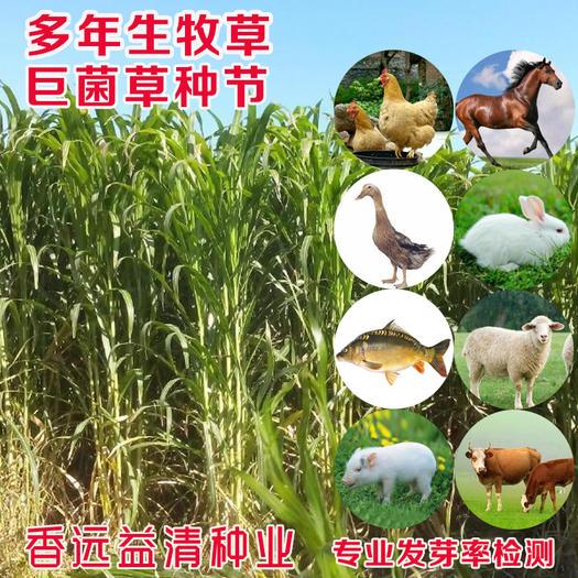 巨菌草种节局菌草种节现砍现发包邮高产多年生提供资料