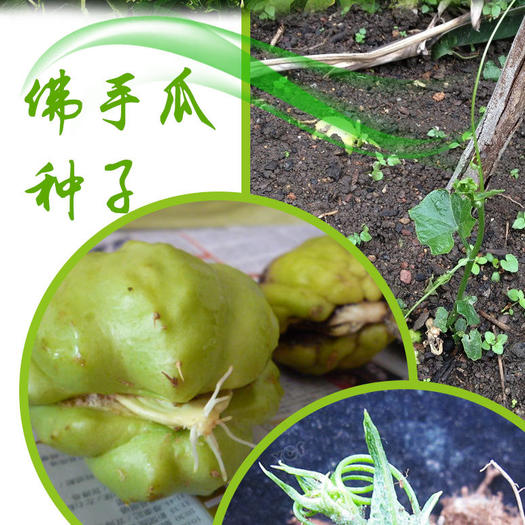 新鲜佛手瓜种子带芽种瓜龙须菜佛手瓜苗阳台盆栽四季播蔬菜苗种苗