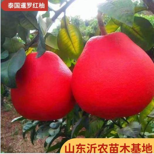 红心柚苗  红心柚子苗(泰国暹罗红柚苗)三红柚子苗 皮特红 品种纯正