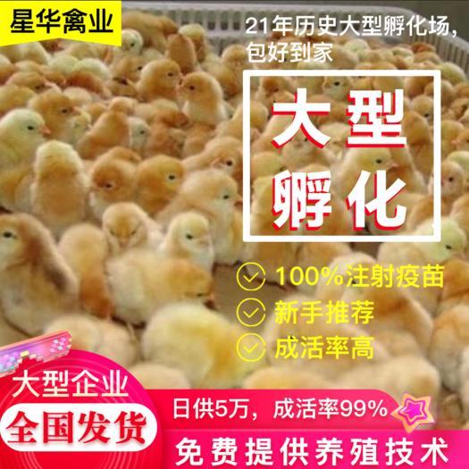 湘黄鸡土鸡脱温出壳苗厂家直供批发