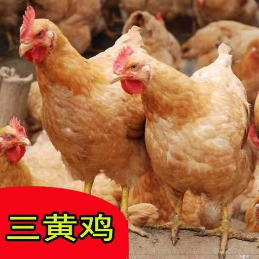三黄鸡苗  热销,,孵化场直供!包打疫苗,质量有保障