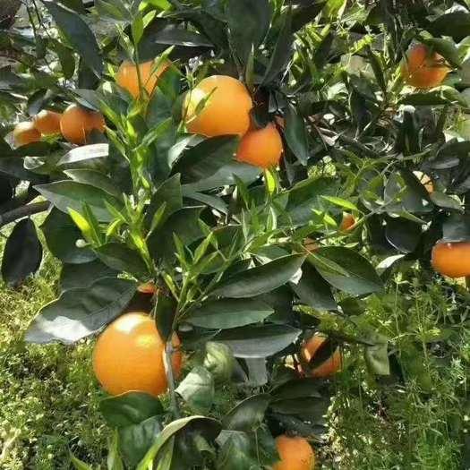 【一件代发】正宗秭归伦晚脐橙帝王橙精选大果3斤/5斤/9斤