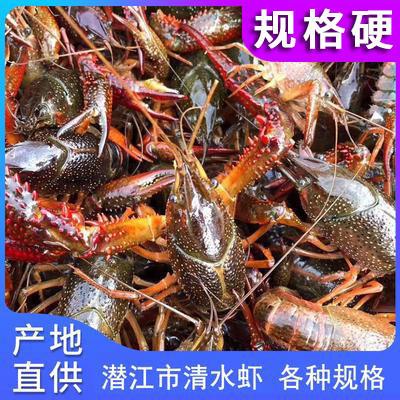湖北潜江市市小龙虾产地直发底板干净中青大青硬规格456-789