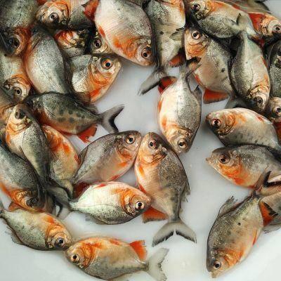 淡水紅鯧魚苗 優質魚苗 基地直發 包郵 存活率高 有損包賠