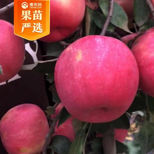 寒富苹果树苗  红寒富士苹果苗 根系发达 保成活 死苗补发 提供技术