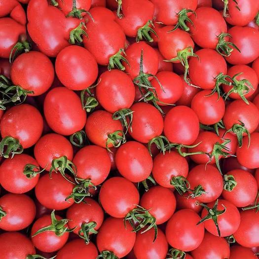 碧娇圣女果  辽宁省盘锦市碱地圣女果,糖度高,口感好,小番茄小西红柿批发
