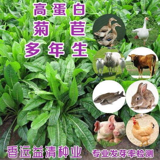 菊苣種子  菊苣新種子四季牧草種子大葉菊苣將軍菊苣批發包郵提供種植技術