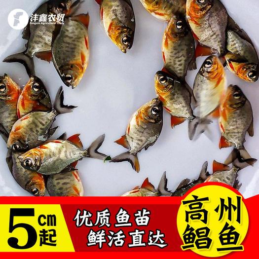 紅腹鯧魚批發 紅鯧魚苗 紅鯧自孵水花基地發貨