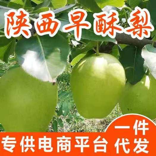 現摘陜西蒲城脆甜青皮早酥梨子綠皮梨子3/5/10斤應季水果整