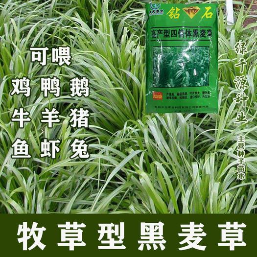 牧草型黑麦草种子【耐寒高产抗倒特高】四倍体多次收割包邮送种植