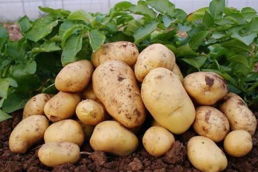 黄心土豆  新鲜土豆,自己农地种的。有机土豆