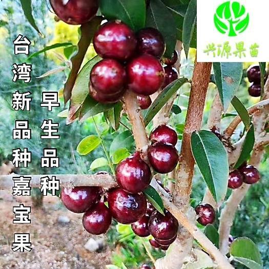 艾斯卡嘉宝果苗 早生品种 正宗台湾果树苗
