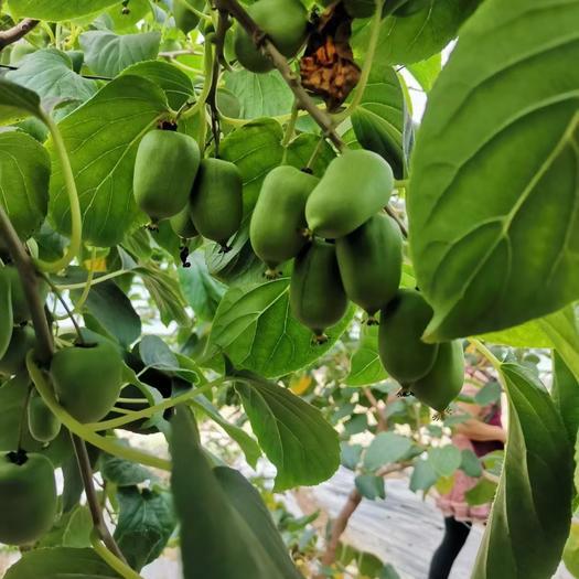 東北特產軟棗獼猴桃